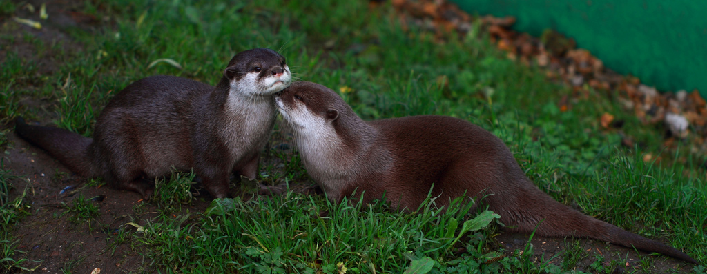 A Small Display of Otter Affection