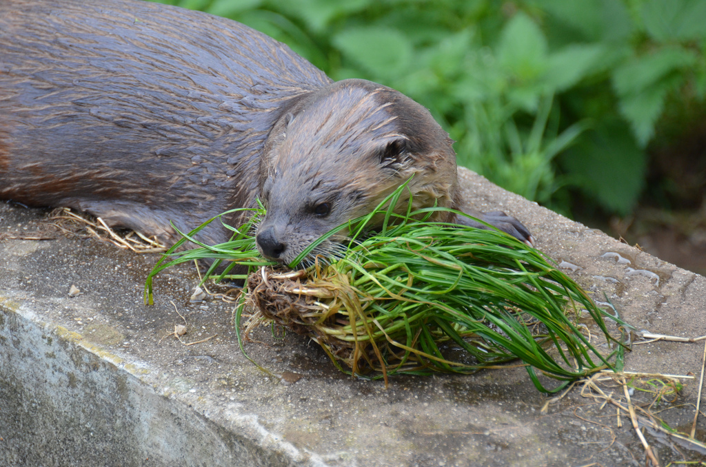 Otter Has Successfully Hunted Down Some Grass