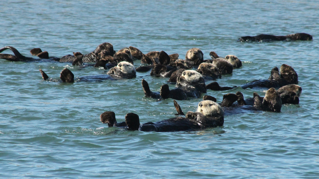 Only One Sea Otter from the Whole Raft Seems to Notice Photographer