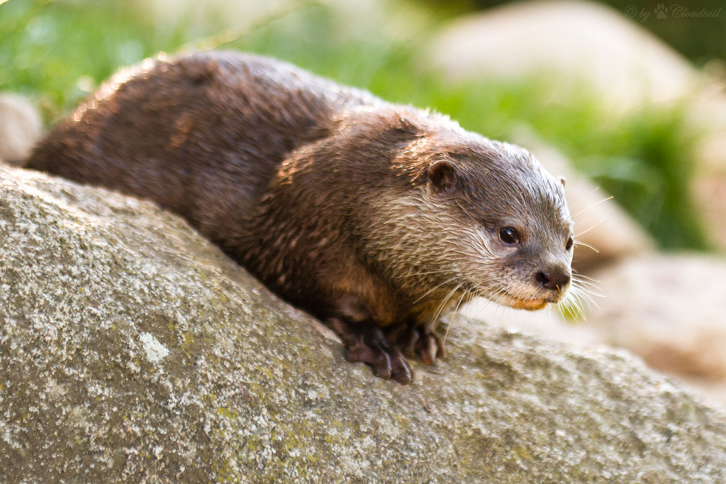 Concentrating Otter