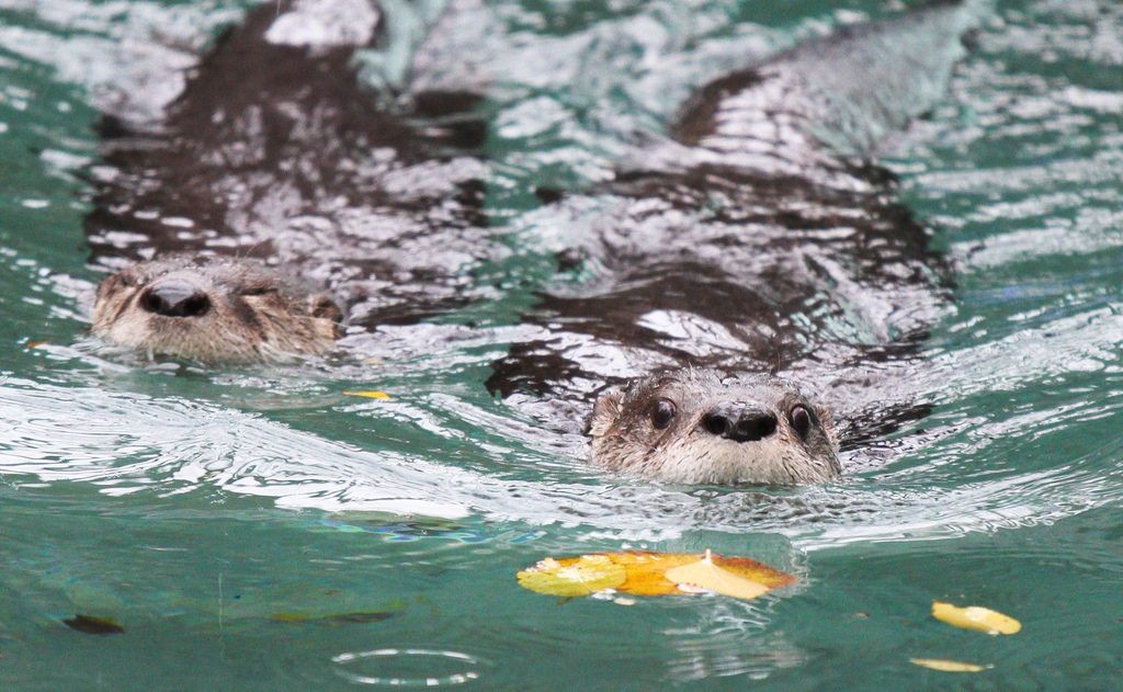 Cue the Jaws Theme: Here Comes Otters!