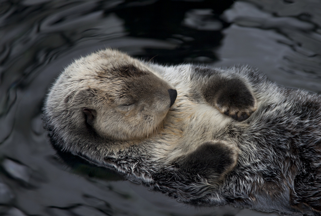 Sleeping Sea Otter Looks So Serene