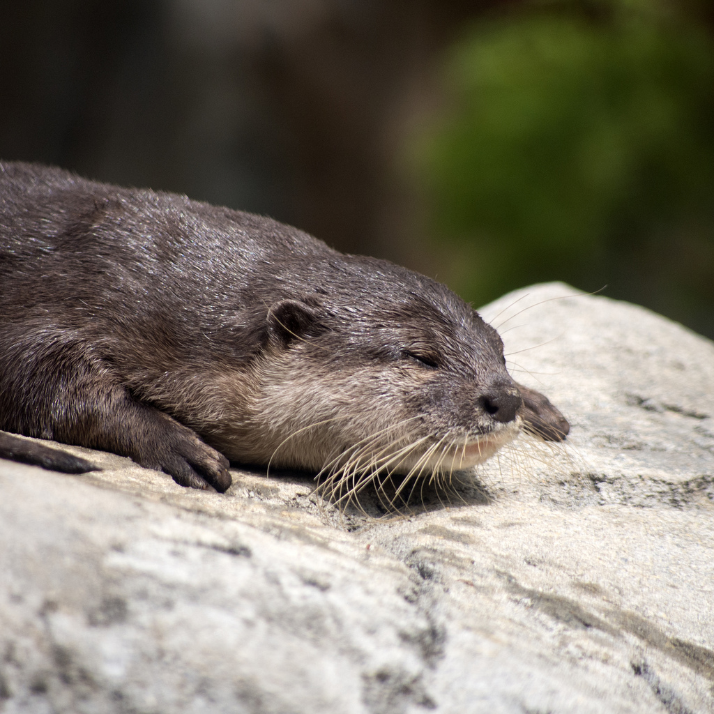 Otter Sunbathes on a Rock