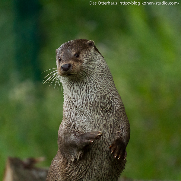 Otter Plays Invisible Bongos