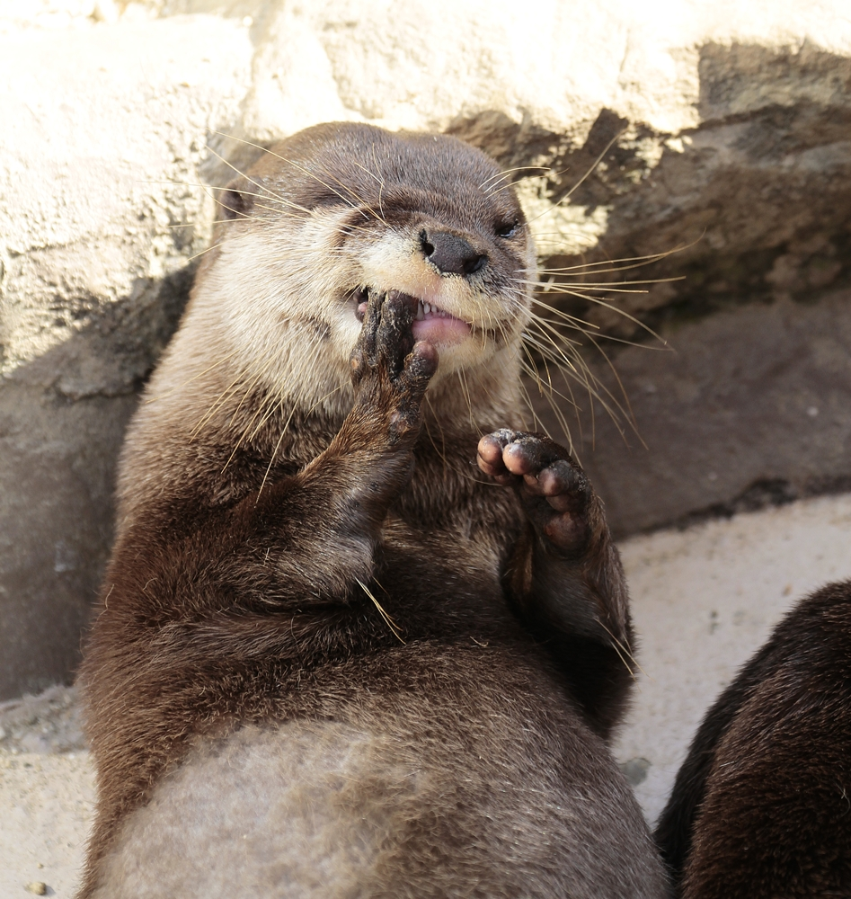 Someone Give Otter a Toothpick!