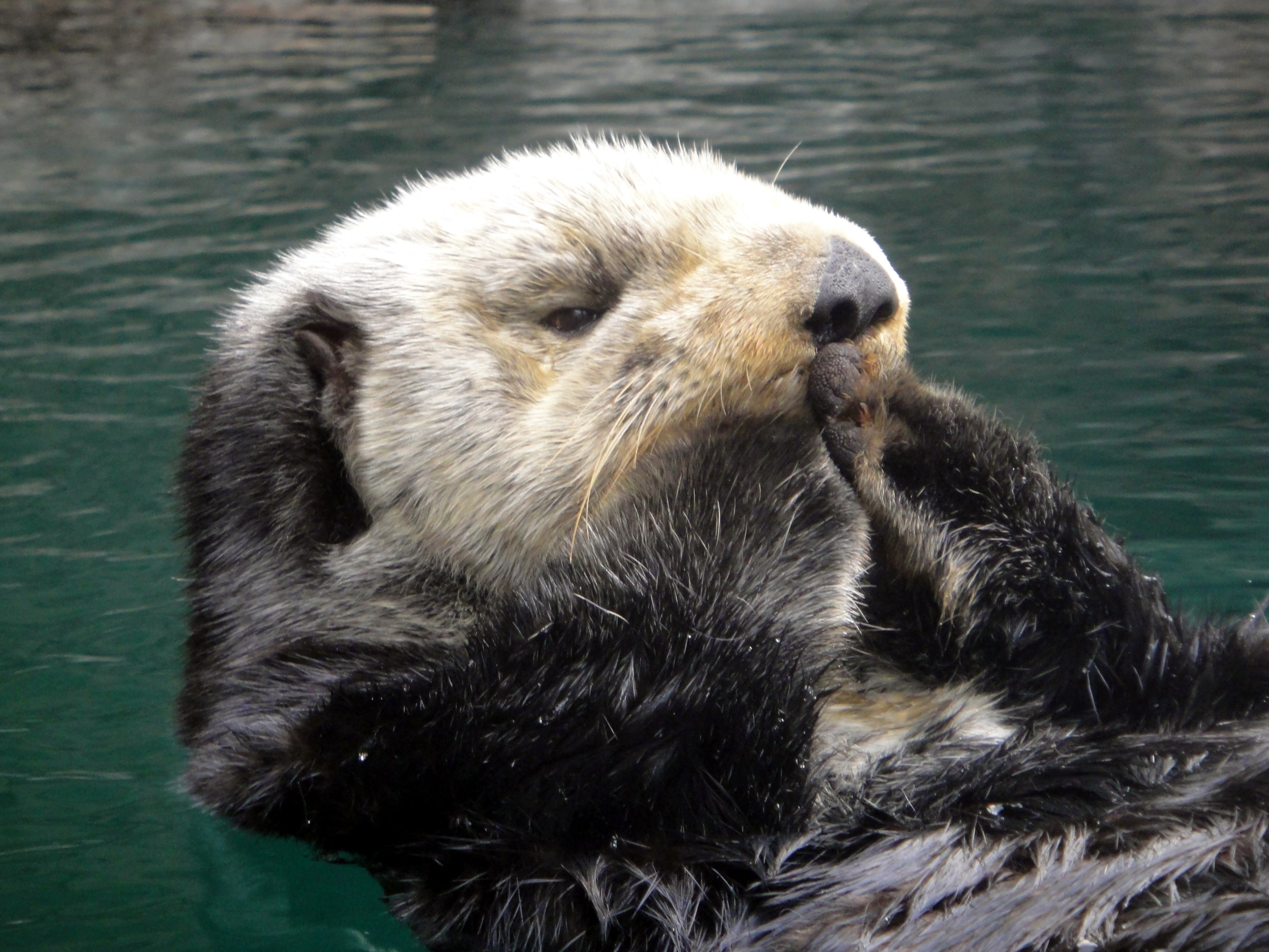 Sea Otter Prepares to Blow a Kiss to Her Adoring Onlookers