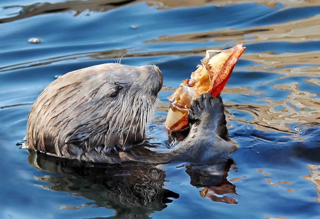 Sea Otter Noms a Delicious Crab