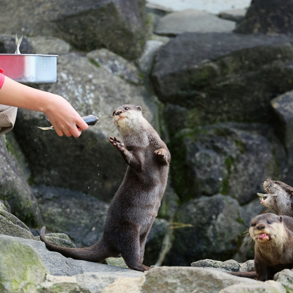 One Otter Gets a Fish and Another Comes to Ask for One, Too 2