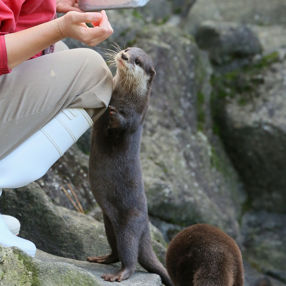 One Otter Gets a Fish and Another Comes to Ask for One, Too 4