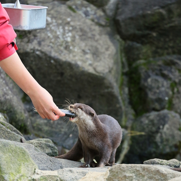 One Otter Gets a Fish and Another Comes to Ask for One, Too 3