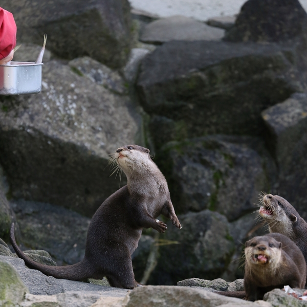 One Otter Gets a Fish and Another Comes to Ask for One, Too 1