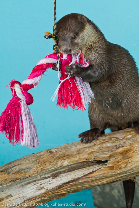 Otter Attacks Her Rope Toy
