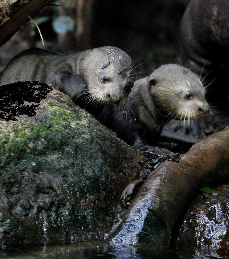 Giant Otter Pups Prepare for Their First Swimming Lesson