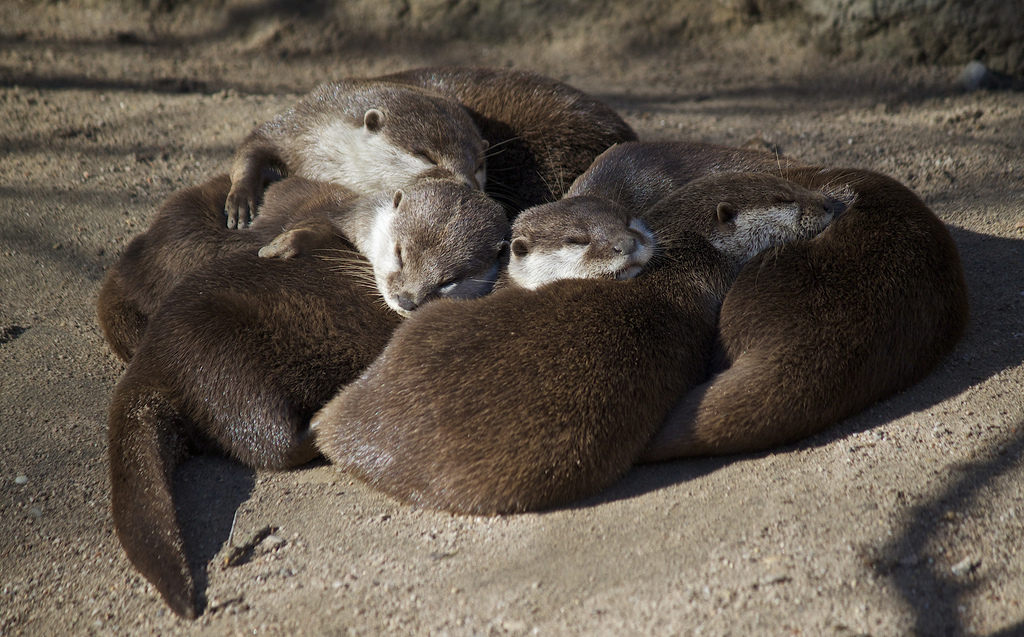 No Nap Is Cozier Than When Otters Nap