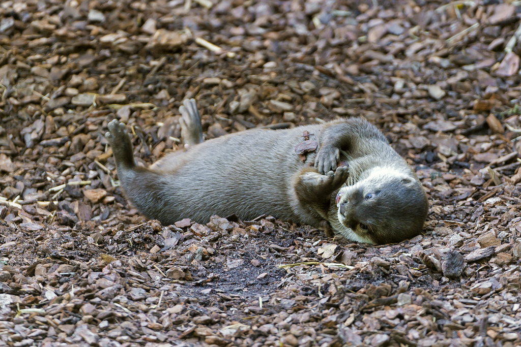 Otter Rolls Around and Covers Himself in Wood Chips