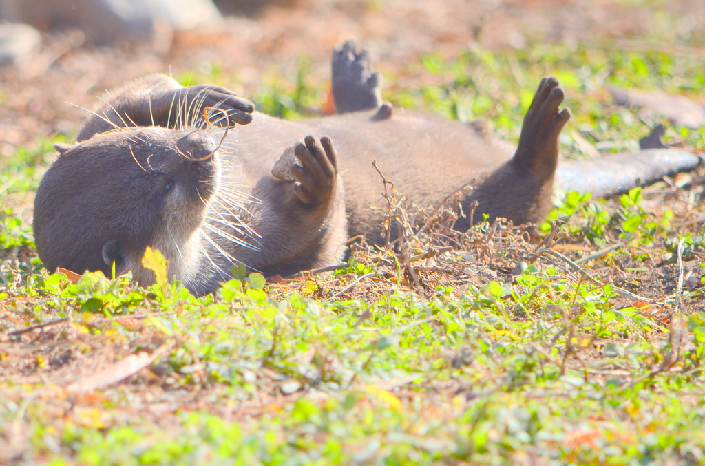 Otter Warms Up His Belly in the Sun