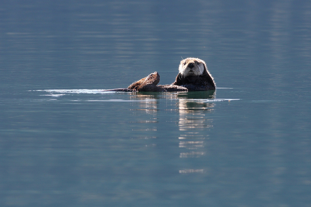 Sea Otter in a Smooth-as-Glass Blue Sea