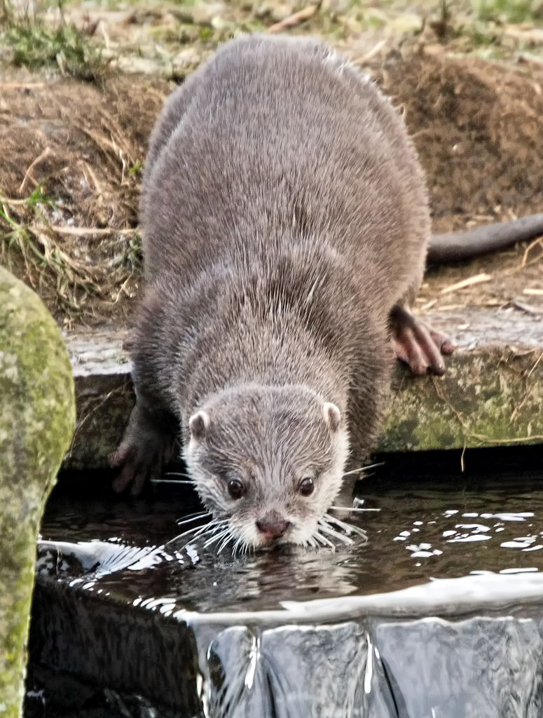 Otter Takes a Sip of Water