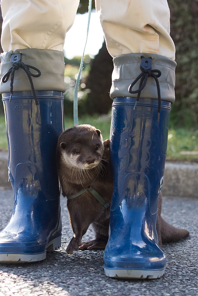 Otter Is Shy and Hides Behind Keeper's Legs