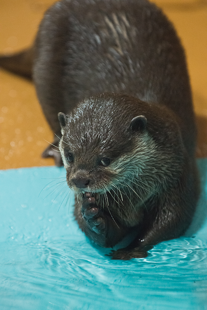 Otter Gives the Camera a Coy Look