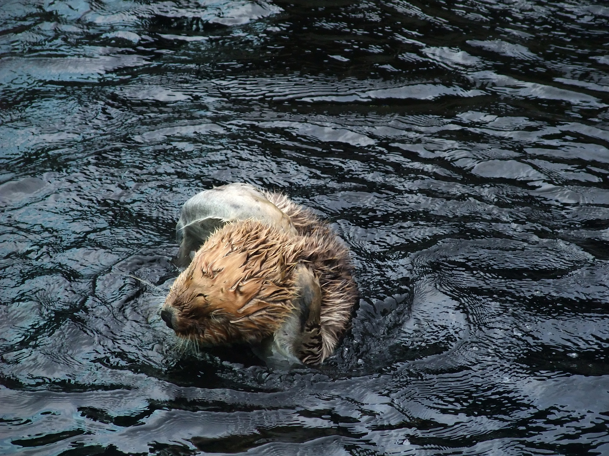 Sea Otter Musses Up His Fur for His Lion Impression