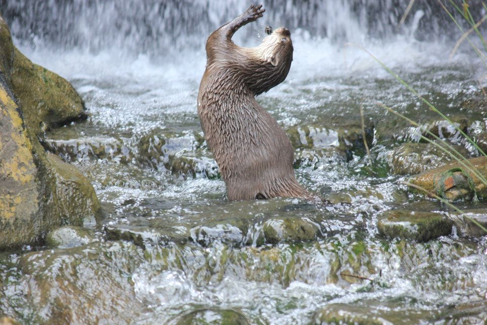 Otter Dances in a Waterfall