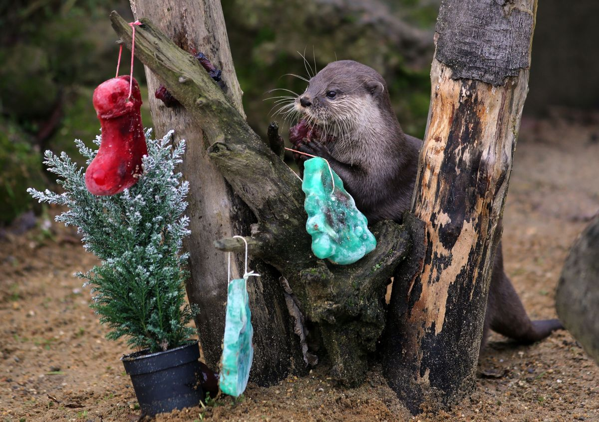 Otter Plays with Frozen Tree Ornaments