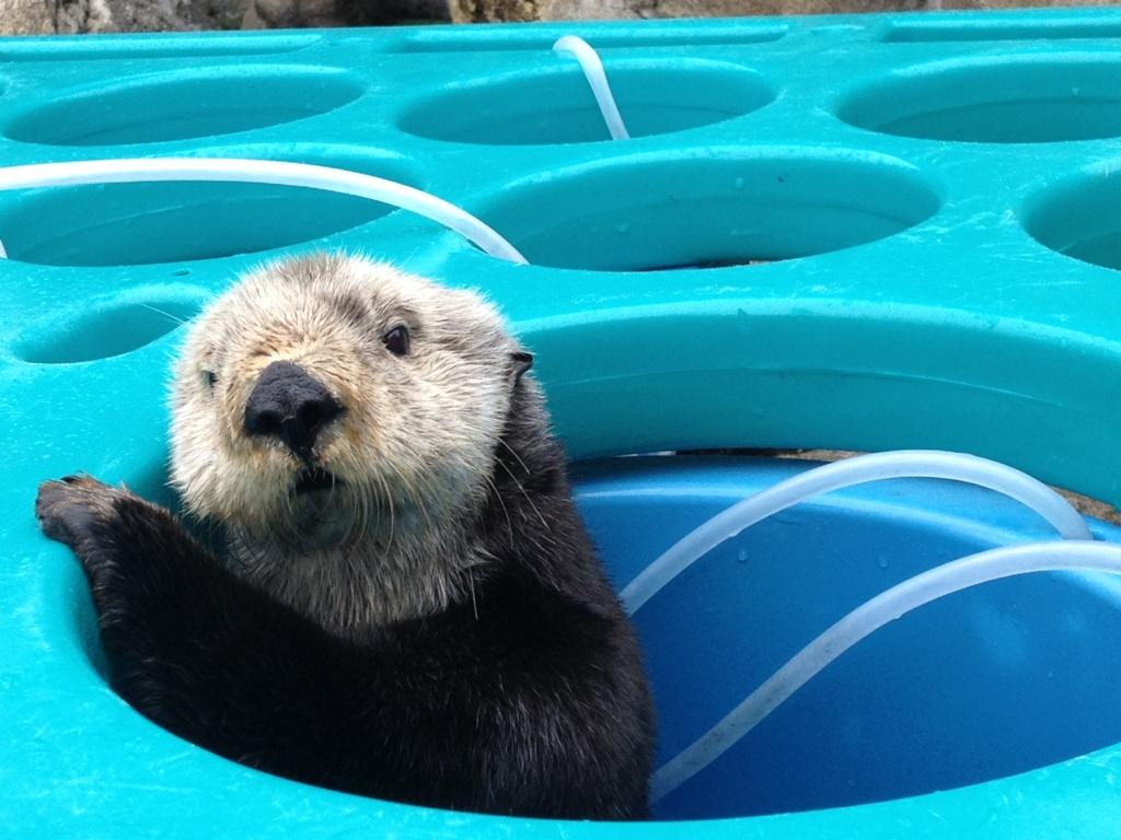 Sea Otter Mae in a Maze