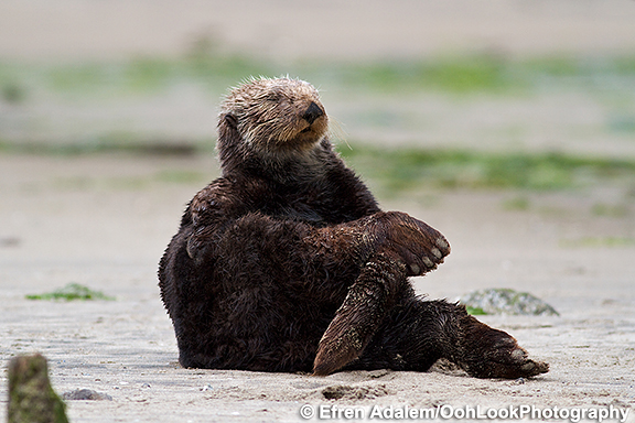 Sea Otter Practices a Yoga Pose