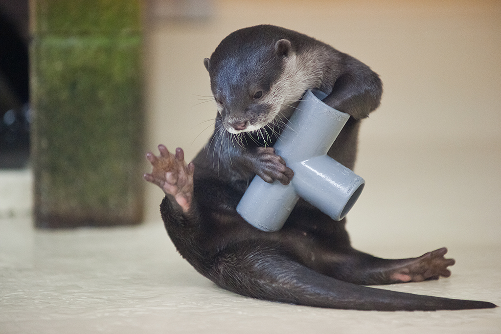 Otter Plays with a Pipe