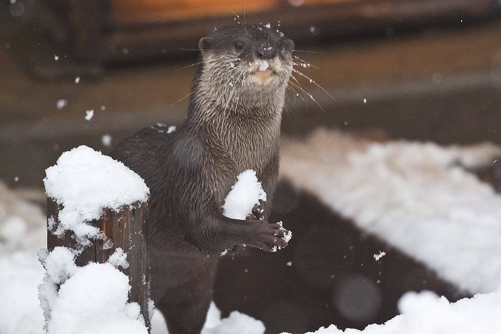 Otter Collects Snow to Make an Snowotter