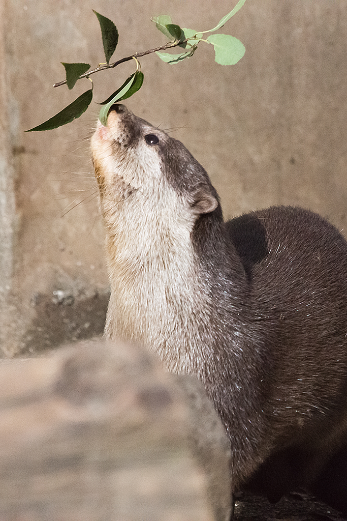 Otter Reaches Up to Nibble a Leaf