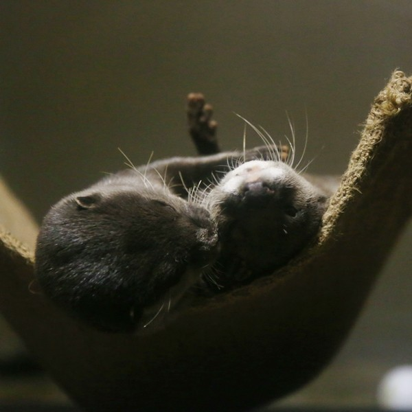 Otters Have Cuddle Time in Their Hammock