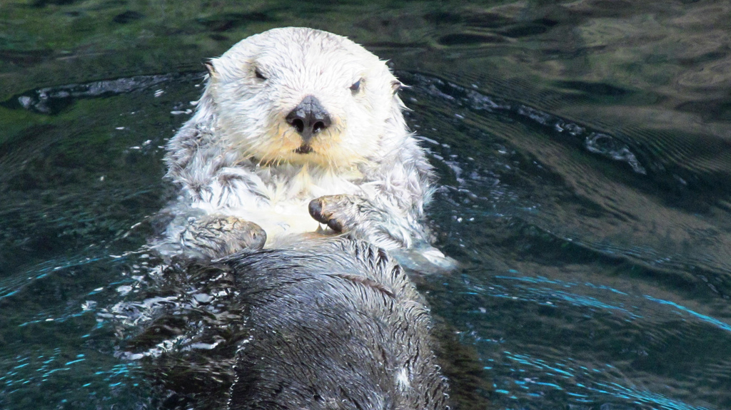 What Are You Lookin' At? You Never Seen an Otter Before?