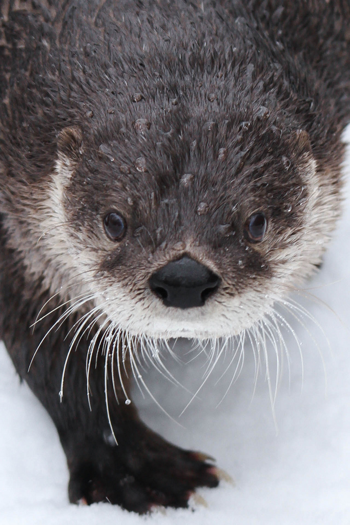 Closeup of Otter with Beads of Water in Her Fur