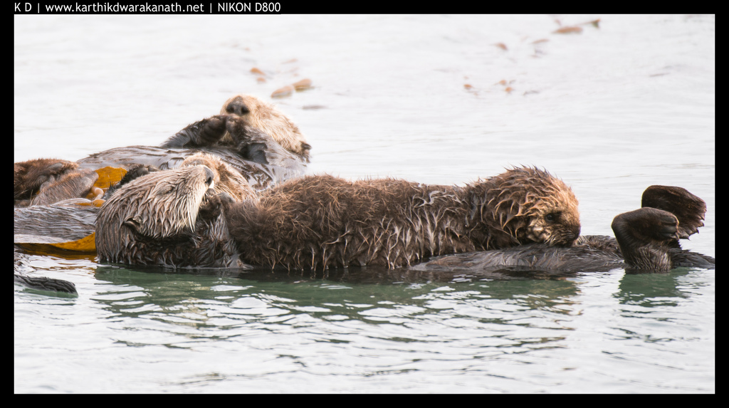 Sea Otter Pup Rests on Mother's Belly