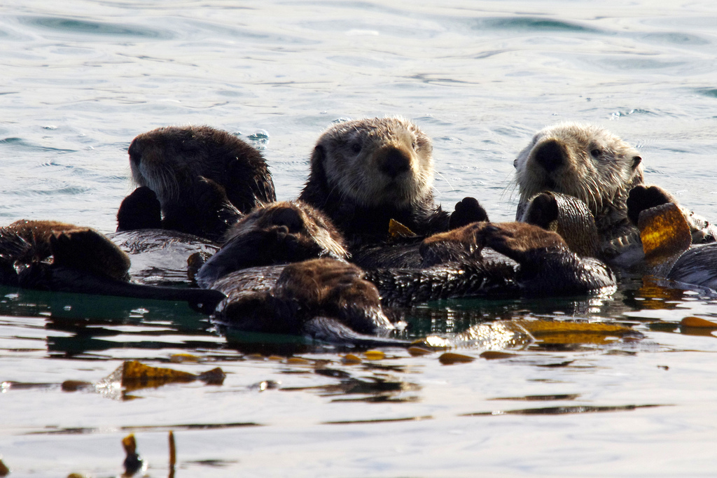 A Raft of Fuzzy Sea Otters in a Kelp Bed