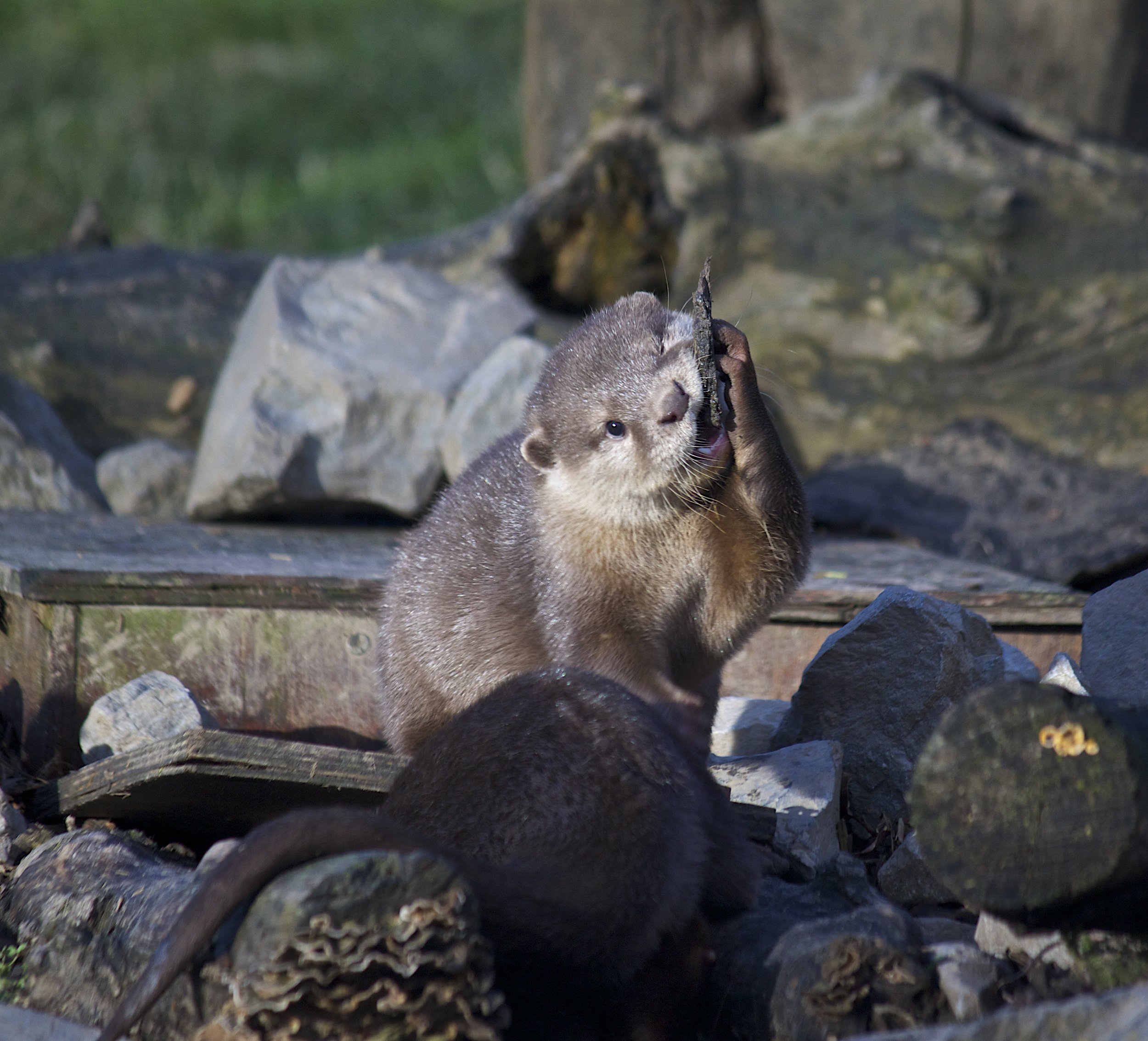 Little Otter, That's Not a Rock You're Trying to Eat, Is It?