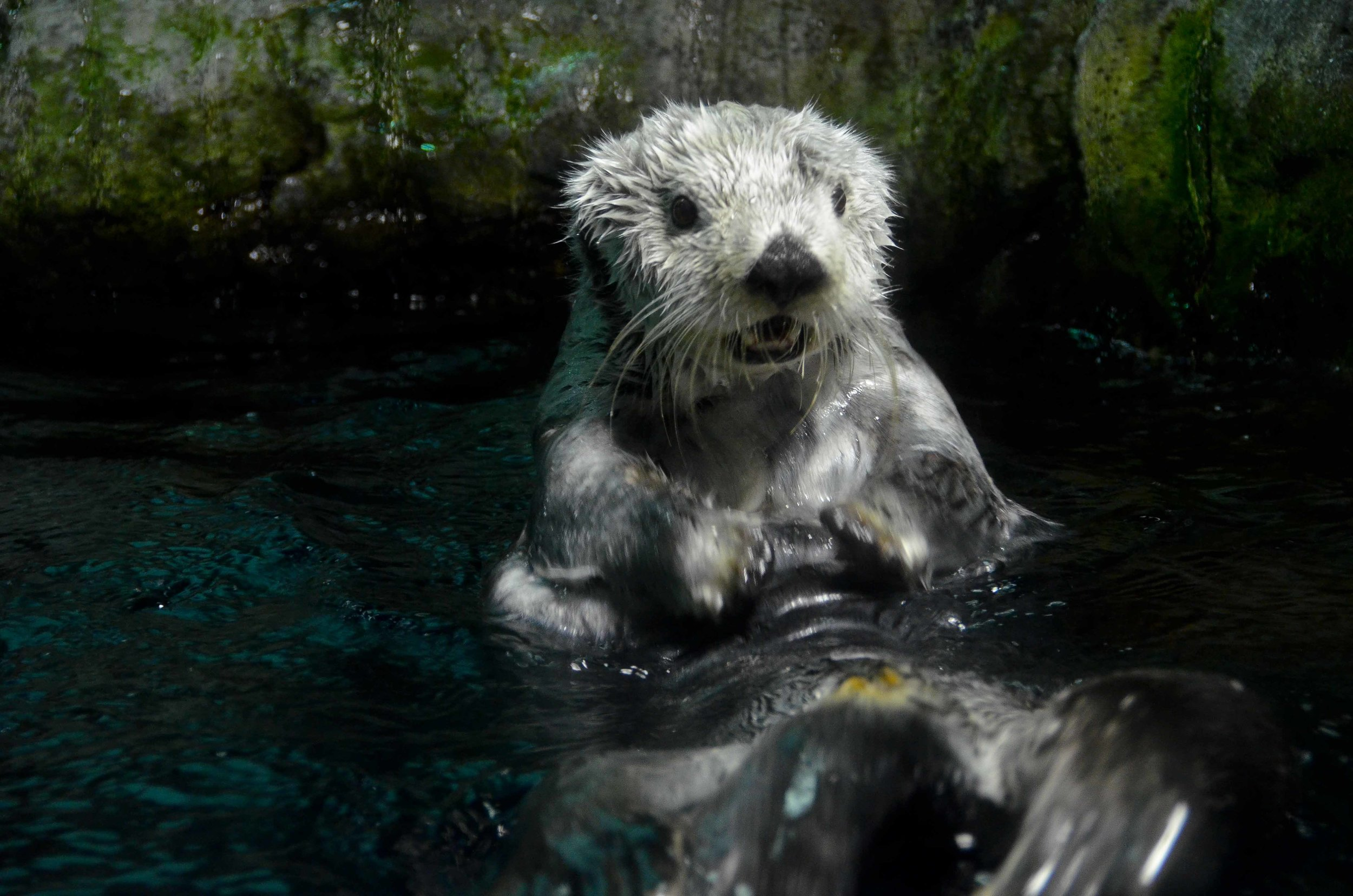 Sea Otter's Jaw Just Dropped in Surprise