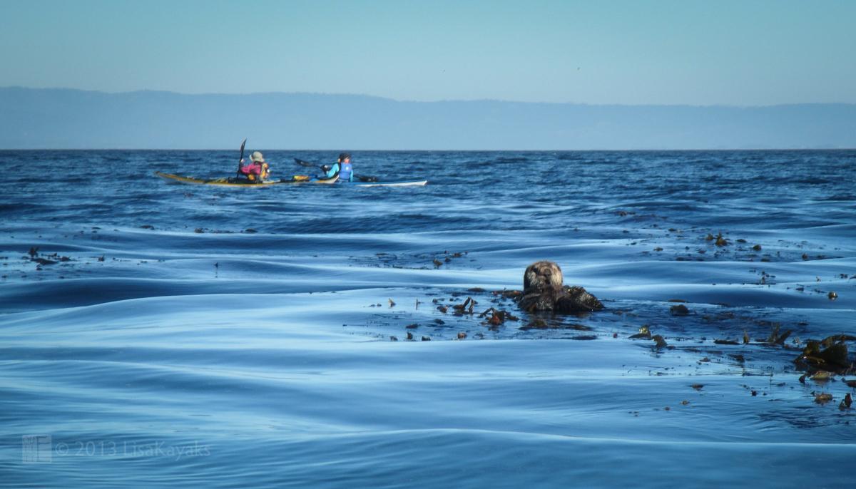 Kayakers Interrupt Sea Otter's Dinner