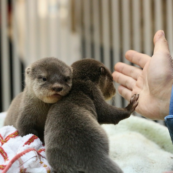 Otter Pup Gives a High Five