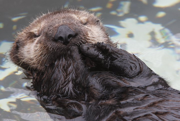 Sleepy Sea Otter Pup Quietly Floats Along