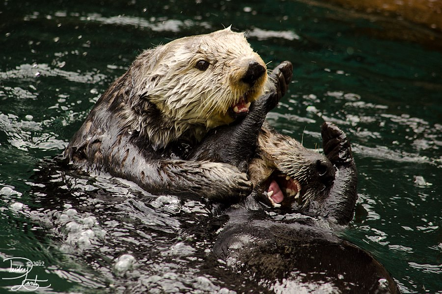 Tickle Torture, Otter-Style