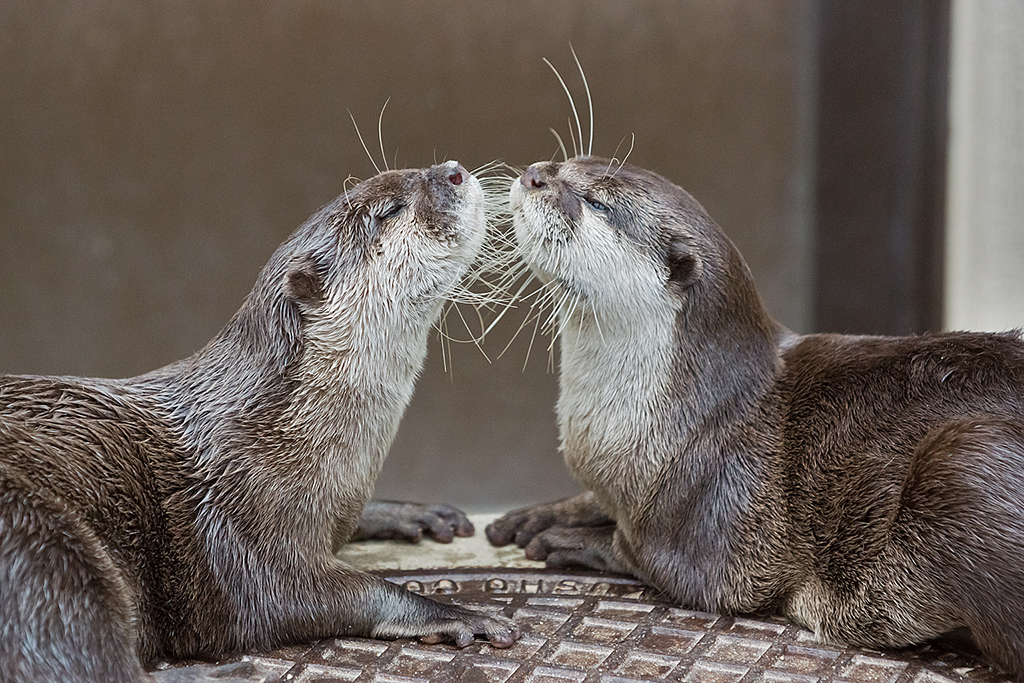 Otters Give Each Other Air Kisses