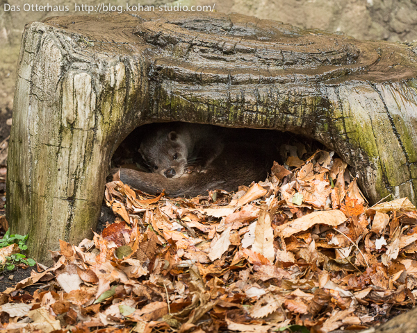 Otter Has Found a Cozy Spot to Curl Up In 1