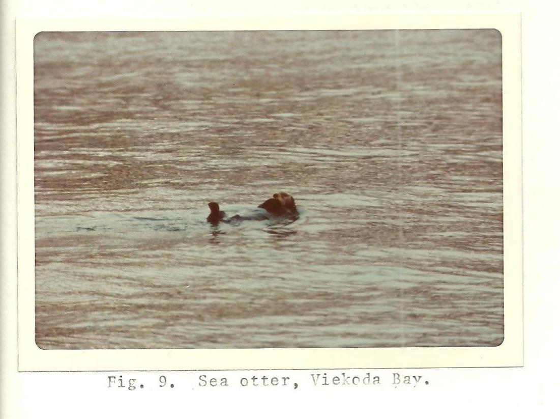 1975 Photo of Sea Otter from the Kodiak National Wildlife Refuge