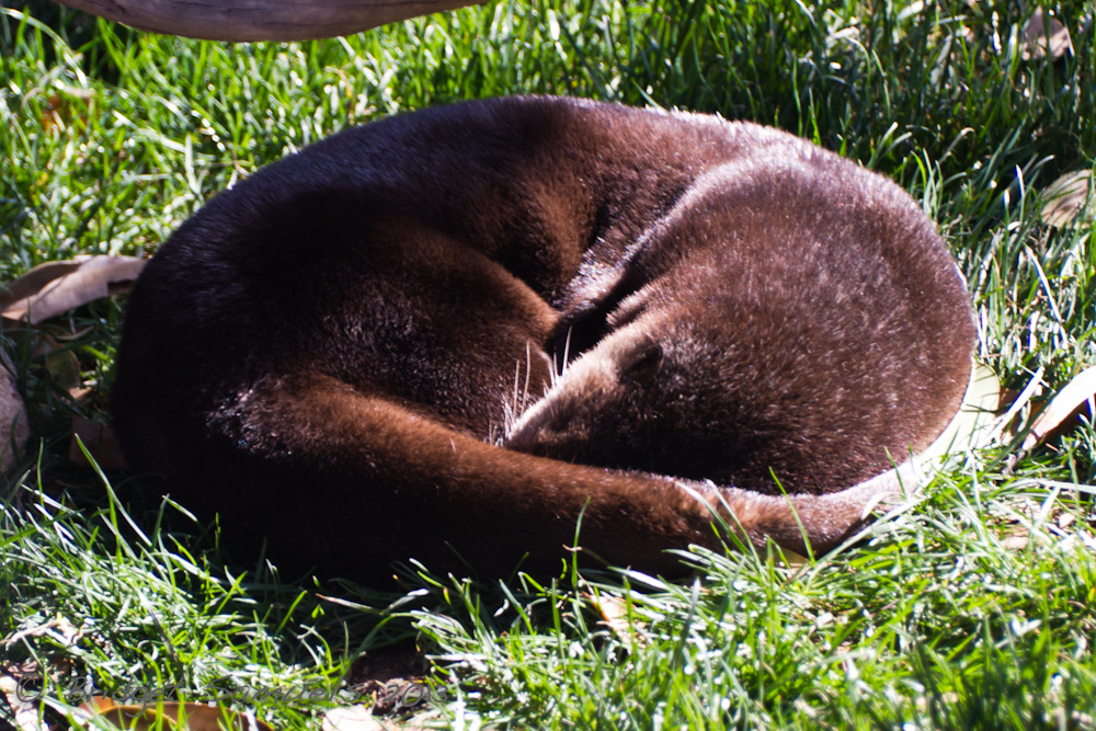 Otter Curls Up for a Nap in the Sunshine