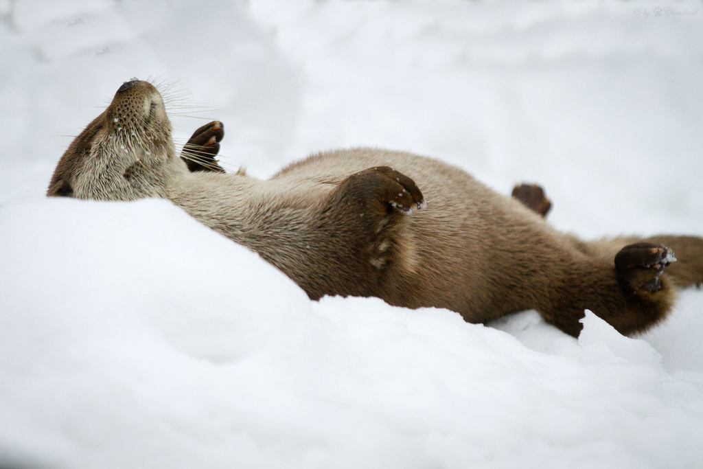 Otter Sprawls Out for a Nap in the Snow