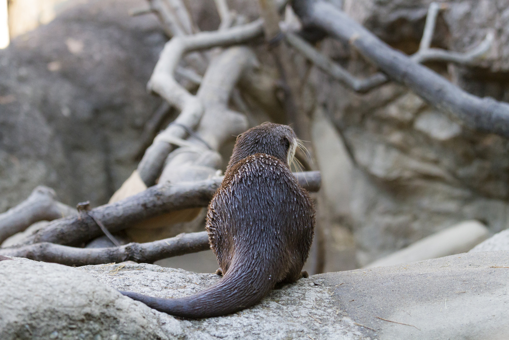Otter Looks Out Over His Lair