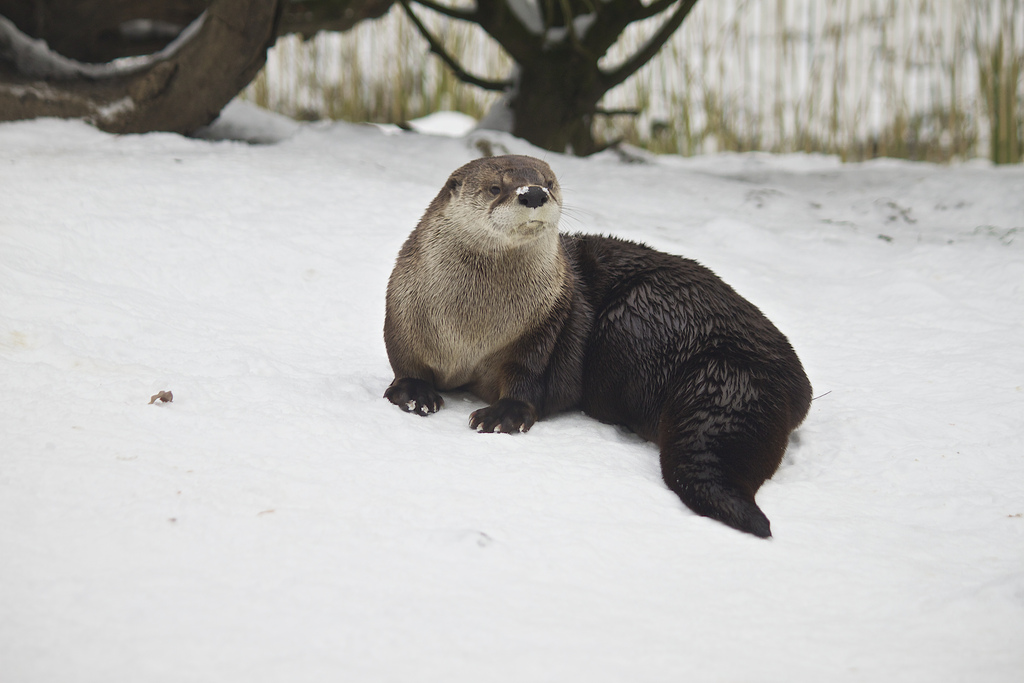 Otter Looks Dignified Even with Snow on Her Nose